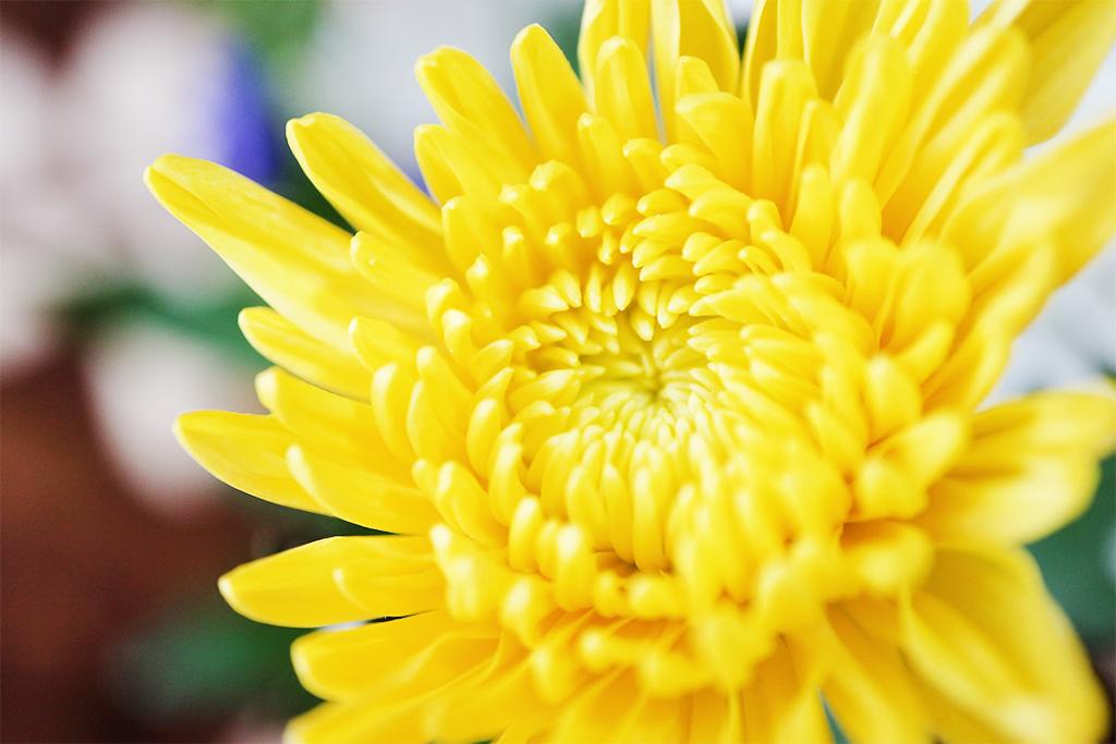 菊を楽しむ「重陽の節句」とは|9月9日節句の由来や行事食、楽しみ方