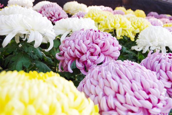 重陽の節句に欠かせないのが菊の花